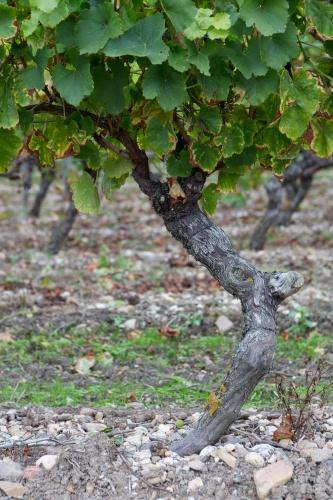 Weinstock mit Schwung