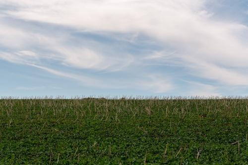 Maisfeld  mit Wolken