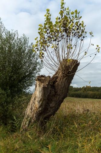 Pappel-Weide-
