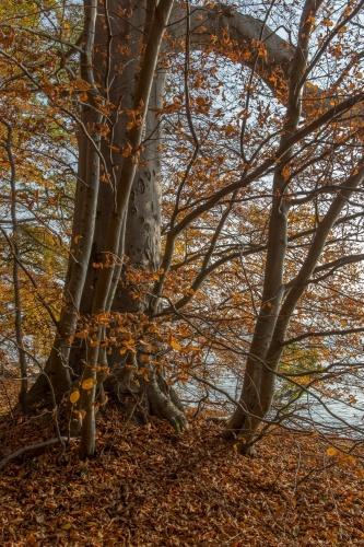 Buche am Kliff im Goor-Wald