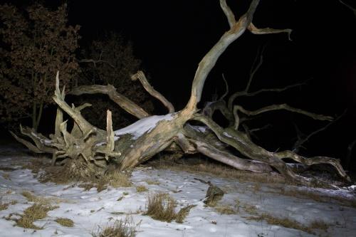 Tote Huteeiche in kalter Winternacht-3