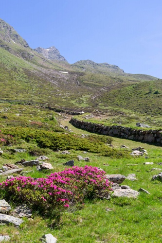 Alpenrose im Arntal