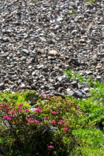 Alpenrose vor Geroell