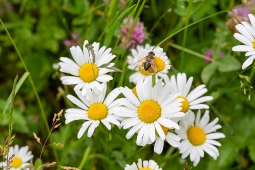 Margariten mit Wespe