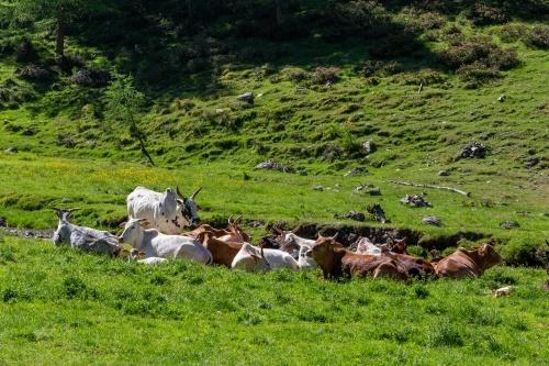 Liegewiese mit Rindern