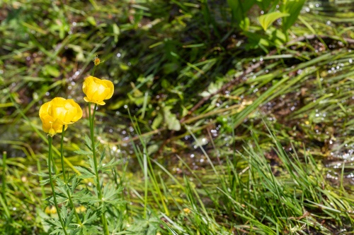 Drossebach mit Trollblumen